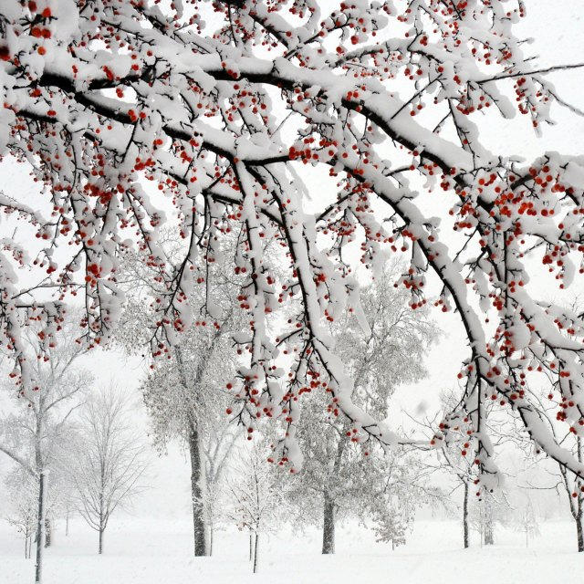 winter_crabapple